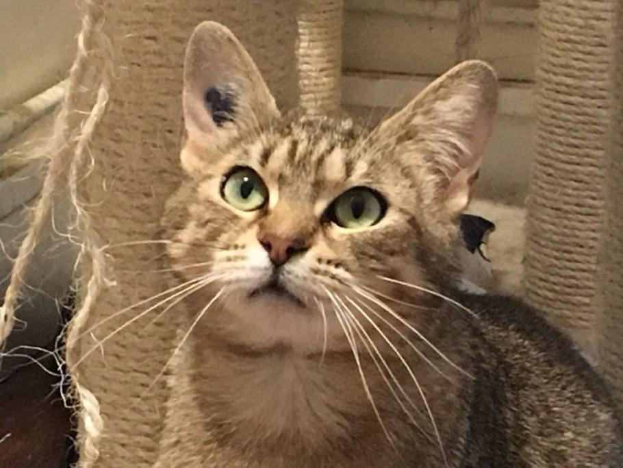 Alissa chat femelle tigrée FIV à adopter