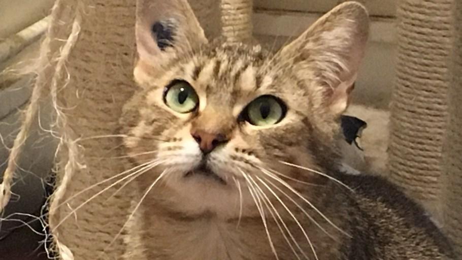 ALISSA Chat Femelle tigrée à adopter