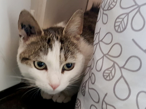 sansa-chat-femelle-tigree-adoption