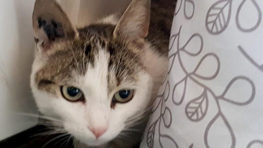 SANSA chat Femelle Tigrée et blanc à adopter Paris et Ile de France