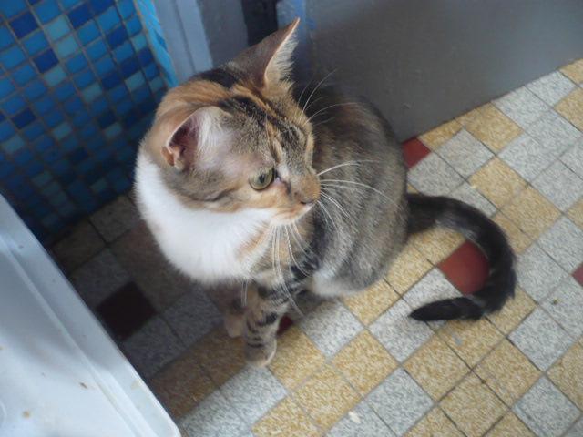 lady chat femelle tigrée roux et blanc adoption paris