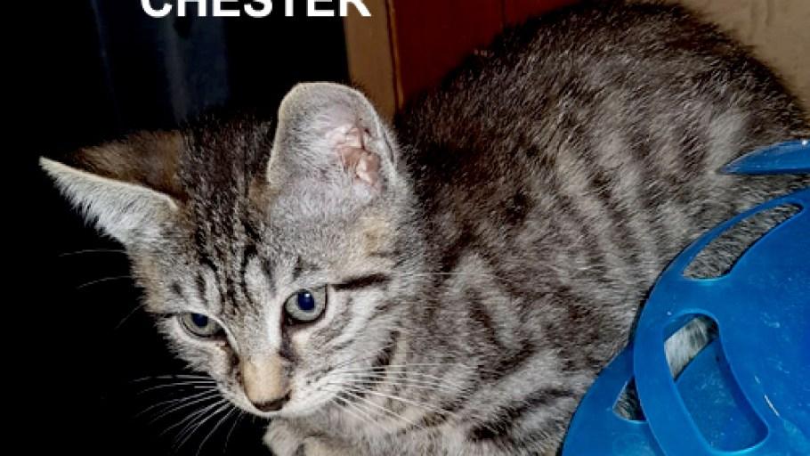 Fratrie des chatons C à l'adoption à Paris