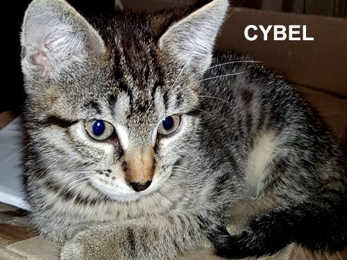cybel-chaton-tigre-adoption