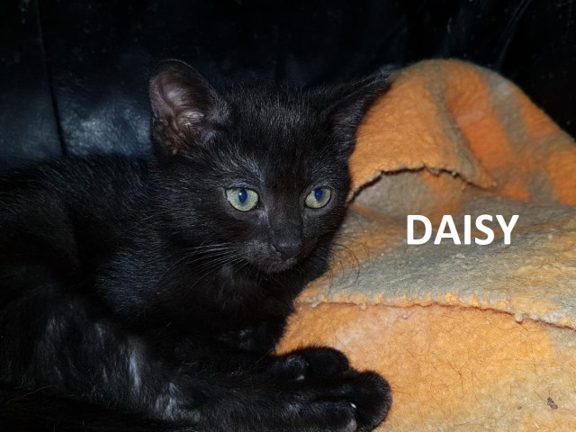 daisy-wp-1600