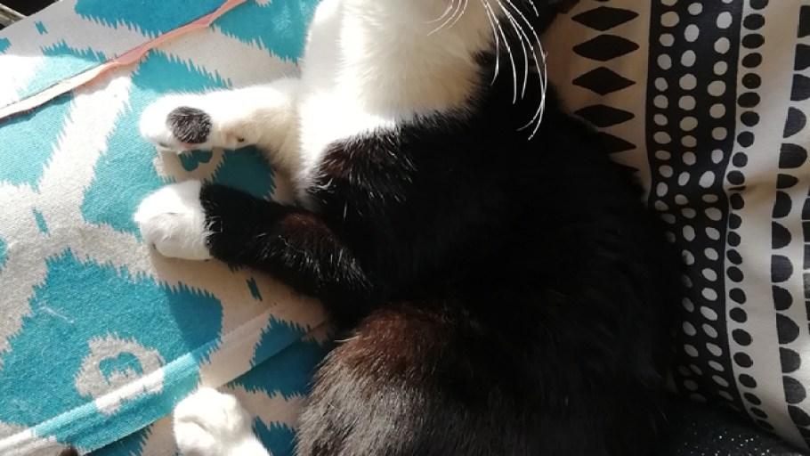 Socquette chaton Femelle Noire et Blanche 6 mois à l'adoption