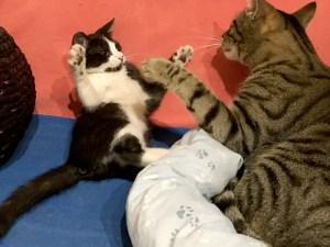Chaton Socquette qui joue avec le chat adulte