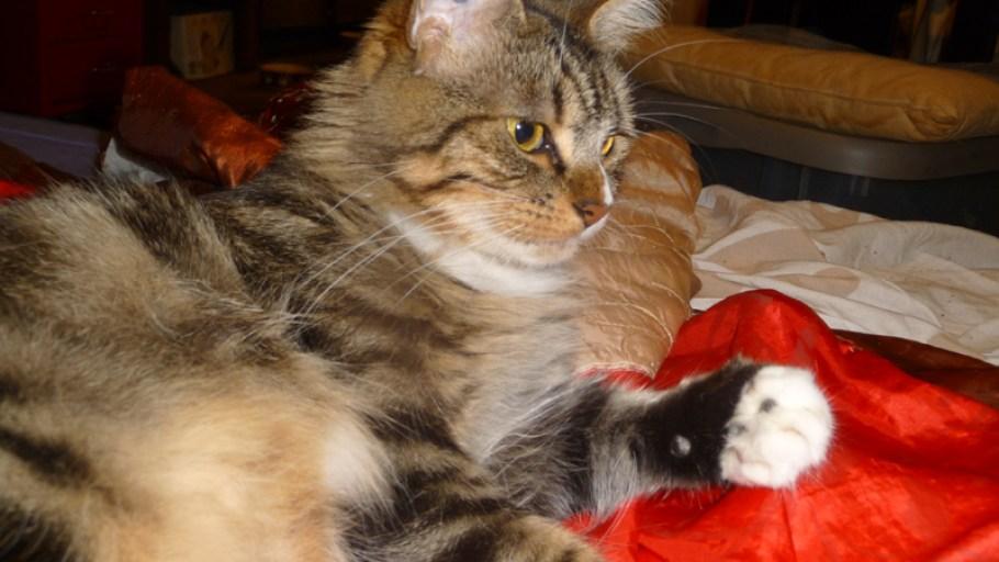 MIEL chat Femelle Tigrée Tabby 2 ans à adopter