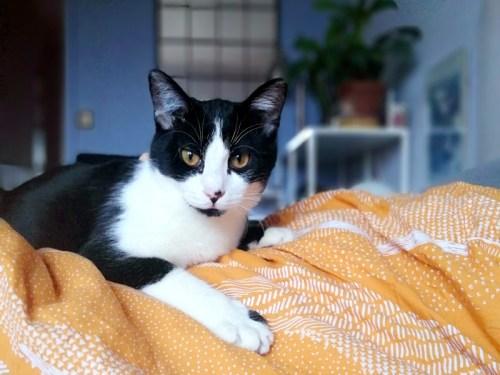 socquette chat noire et blanche à l'adoption