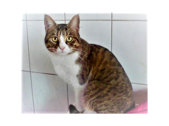 CLOCHETTE-chat-femelle-tigree-blanc-adoption-paris