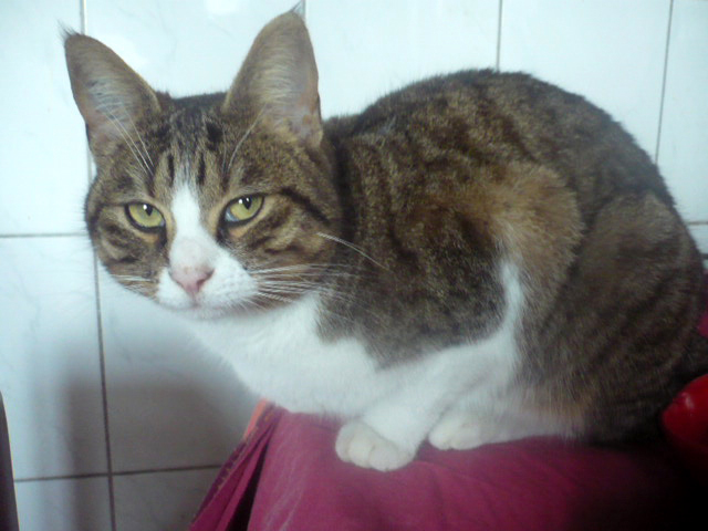 CLOCHETTE-chat-tigree-blanc-adoption-paris