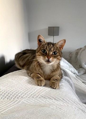 PAILLETTE-chat-adulte-tigree-adoptee-paris