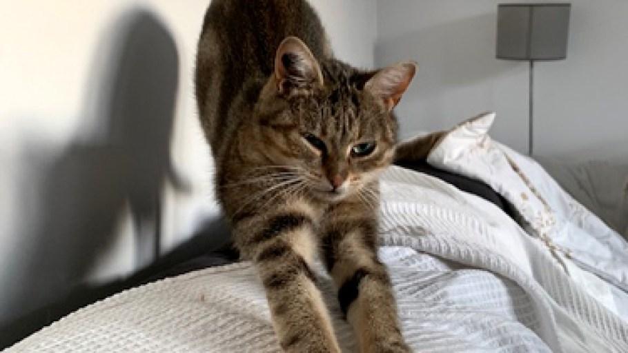 PAILLETTE chat Femelle Tigrée douce câline et joueuse 8 Mois à adopter