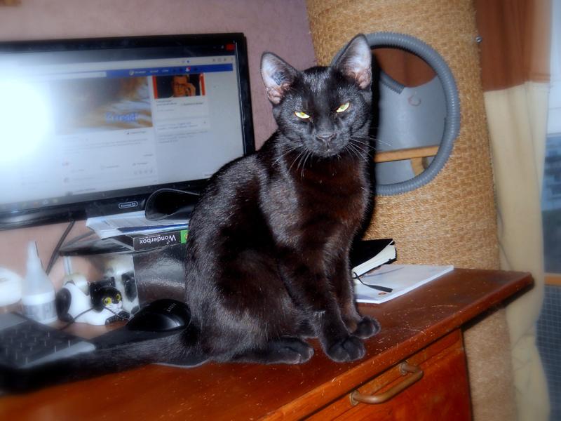 PEPPER-chaton-noir-07