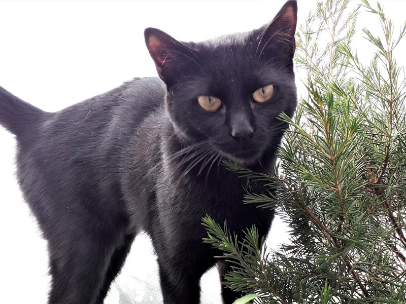 PURDEY jeune chat Femelle Noire de 9 mois à adopter Paris ou ile de France