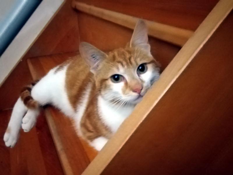 SILVER-jeune-chat-roux-et-blanc-adoption-paris