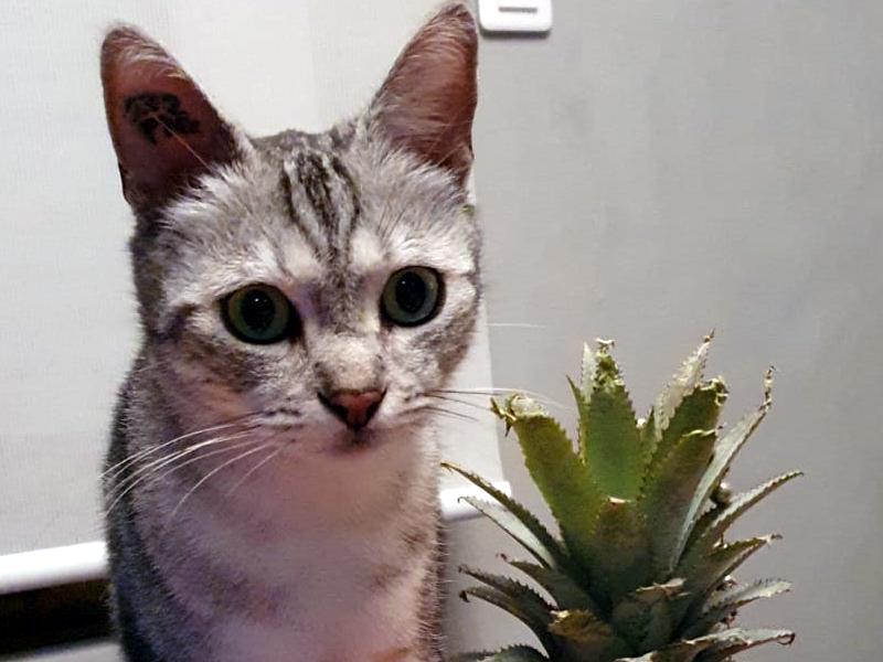 LINKA chat Femelle Tigrée Gris Argenté 1 an super mimi… A adopter !