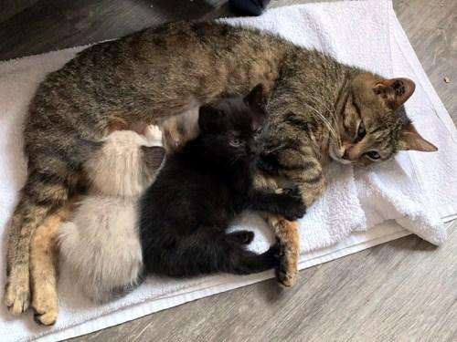 FLORINE qui allaite deux de nos chatons à l'adoption