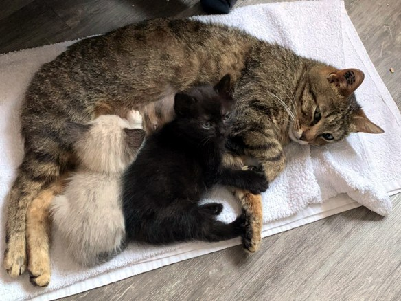 Florine Chat Femelle Tigree Tres Caline 1 An Est En Cours D Adoption Edc Drancy