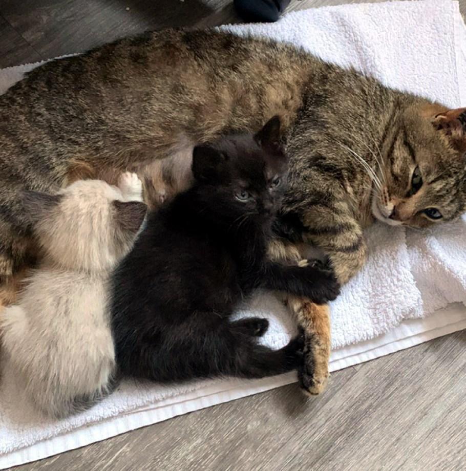 Adoption confirmée pour FLORINE chat Femelle Tigrée très câline adoptée à 1 an