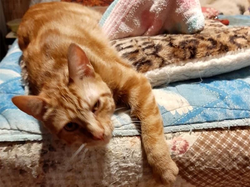 LEO-chat-roux-adoption-validée-paris