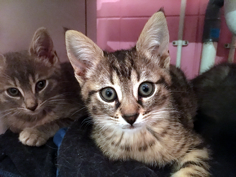 TIPIE-chaton-tigre-adopter-paris