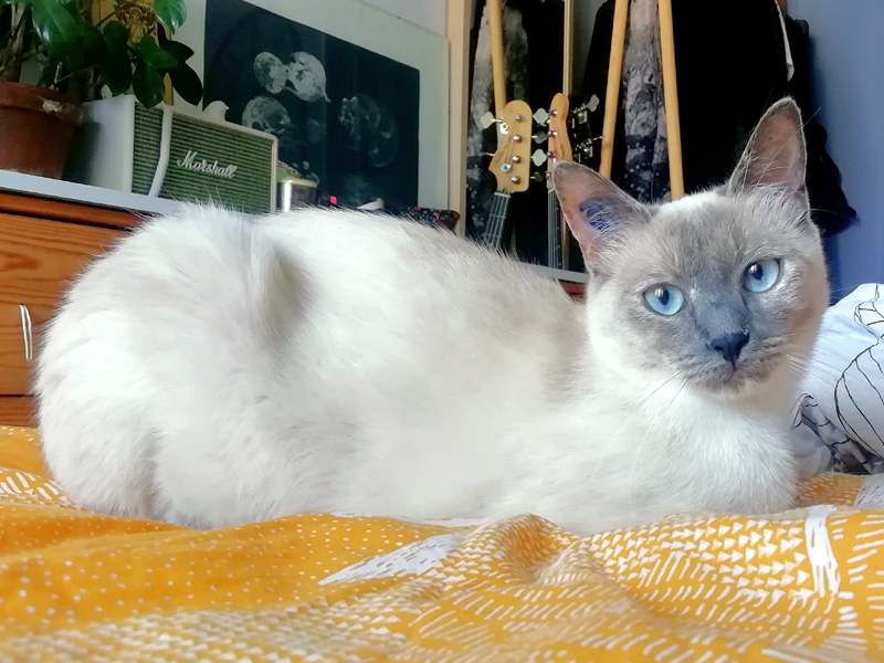 ARIA-jeune-chat-femelle-siamoise-a-adopter-paris