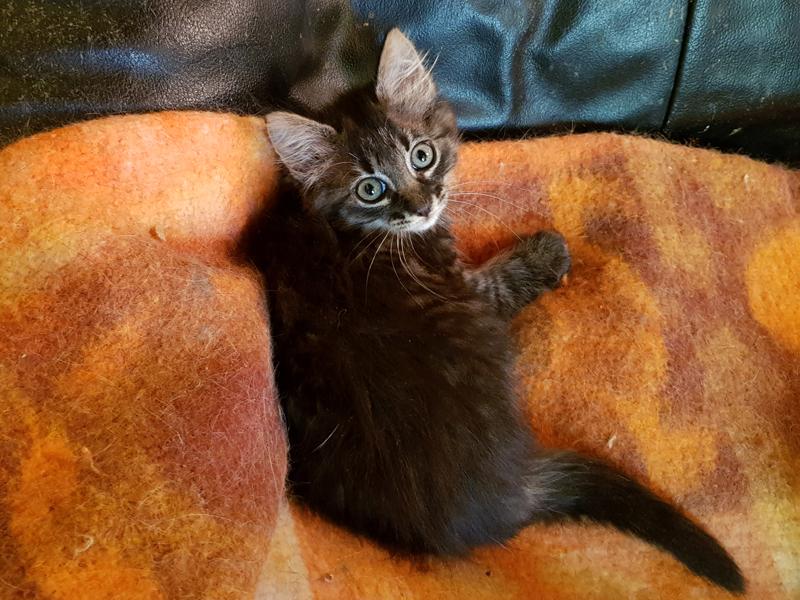 PELUCHE-chaton-tigree-adoption-paris