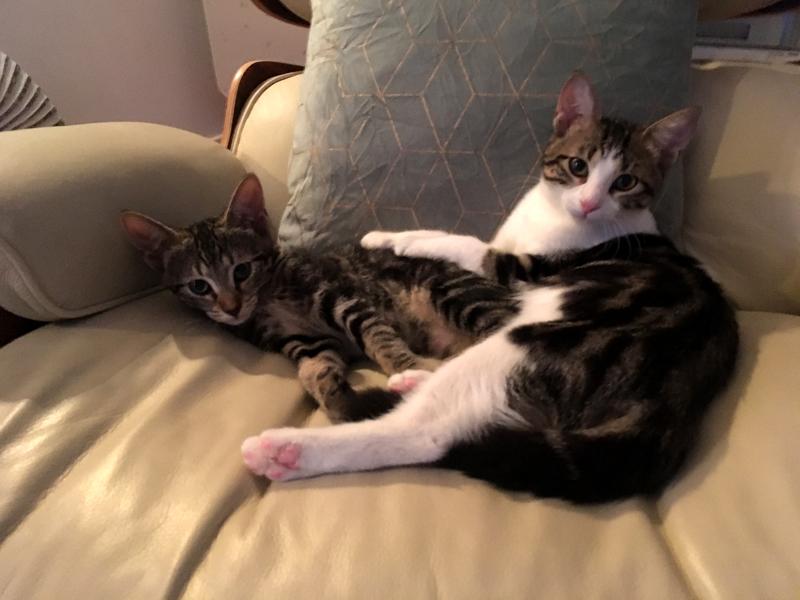 MICKIE ET LILOU, adoptées chatons en duo et qui s'adorent