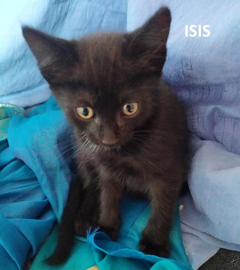 ISIS-chaton-noire-femelle-adoption-paris