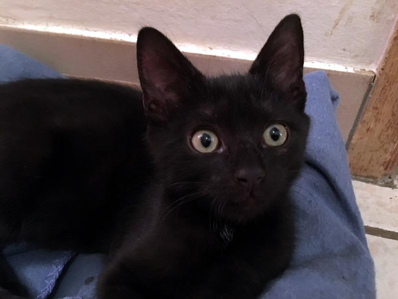 BANDIT-chaton-noir-sauve-poubelle-adoption-paris