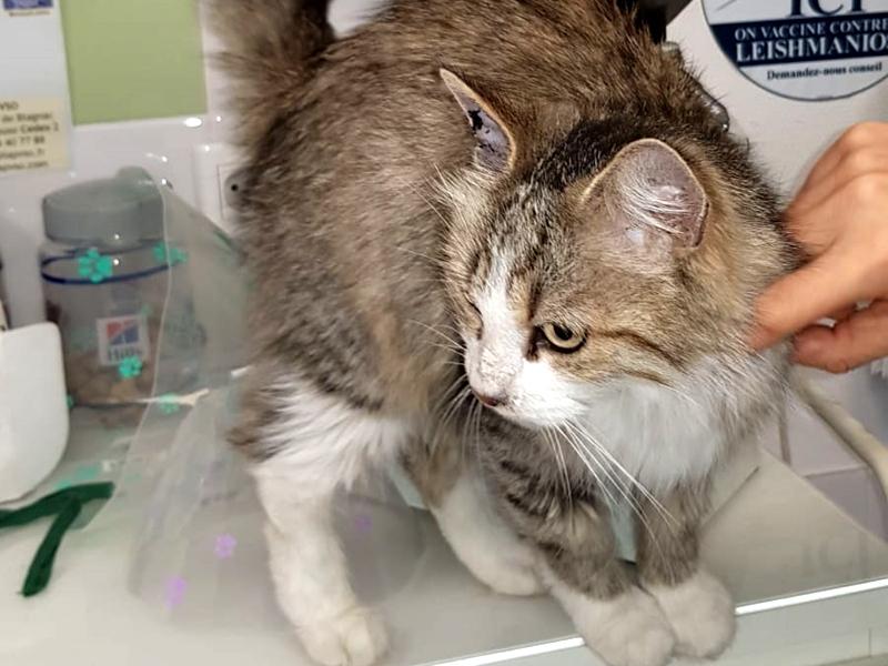 THELMA chat femelle tigrée poil mi long à l'adoption avec notre association