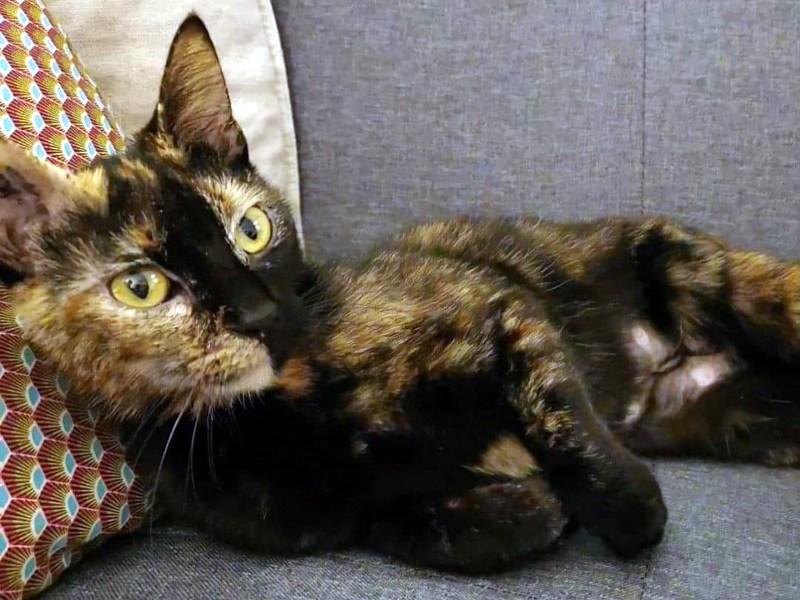 BAHIA-chat-femelle-ecaille-adoption-paris