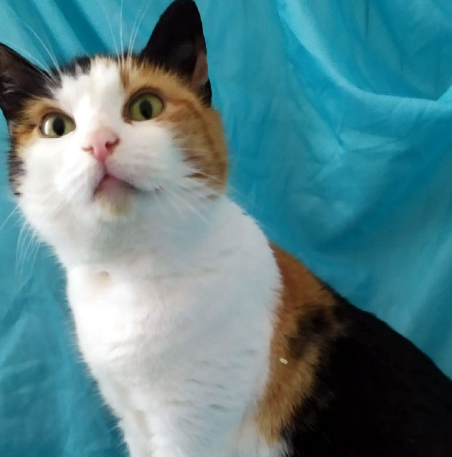 Adoption confirmée pour GRÂCE Chat Femelle tricolore câline et gentille 3 ans