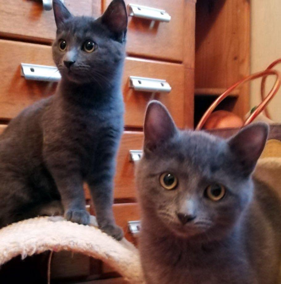 HARLEY & SHIRLEY chatons gris adoptés avec notre association