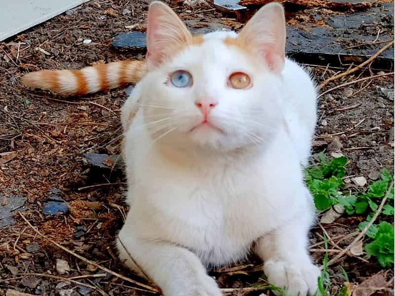VERONE-chat-roux-blanc-adoption-paris