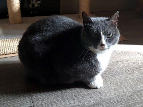 chat femelle grise et blanche 5 ans à adopter avec notre association Paris