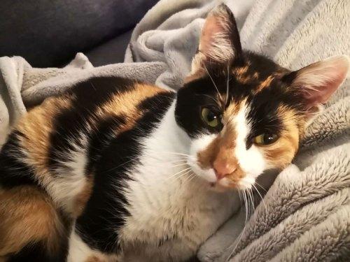 SICOTINE chatte tricolore à l'adoption avec notre association