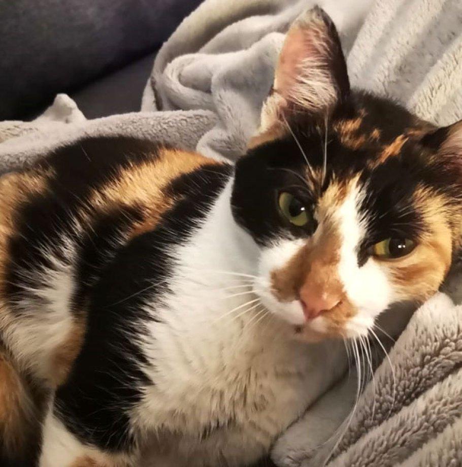 SECOTINE Chat Femelle Tricolore câline joueuse et sympa a trouvé une Famille !