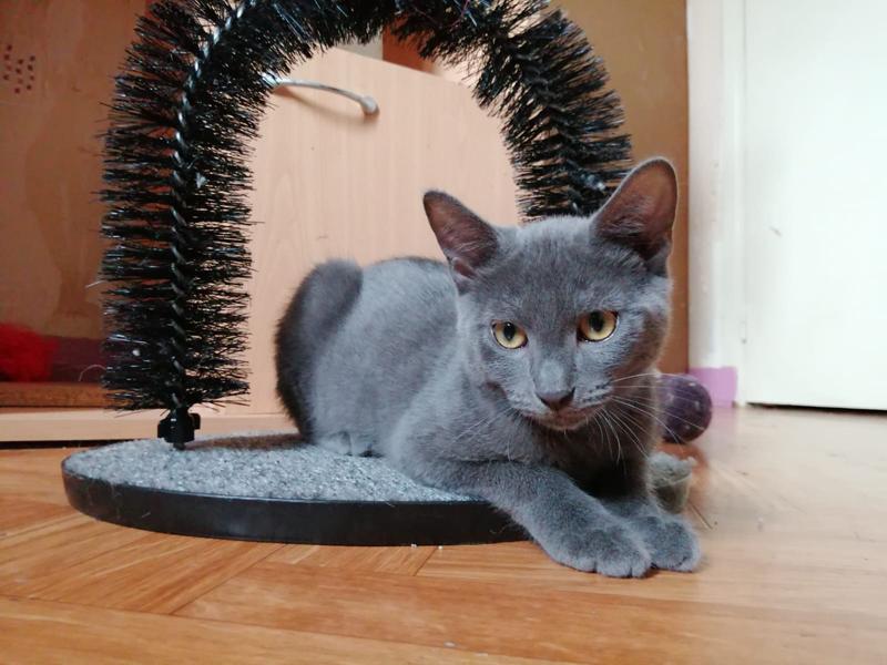 GNOCCHI-chaton-gris-adoption-paris