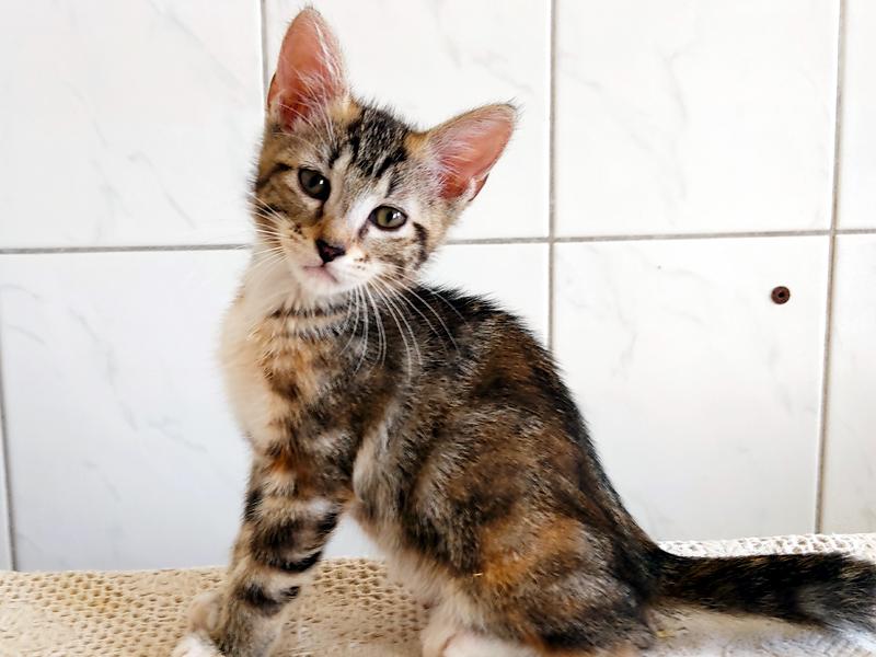 SARA chaton tigré 3 mois à adopter avec notre association sur Paris