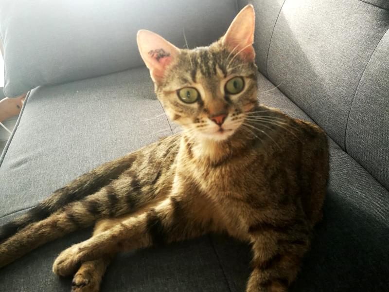 Chat tigrée à adopter BELLA 2 ans, à l'adoption avec notre association