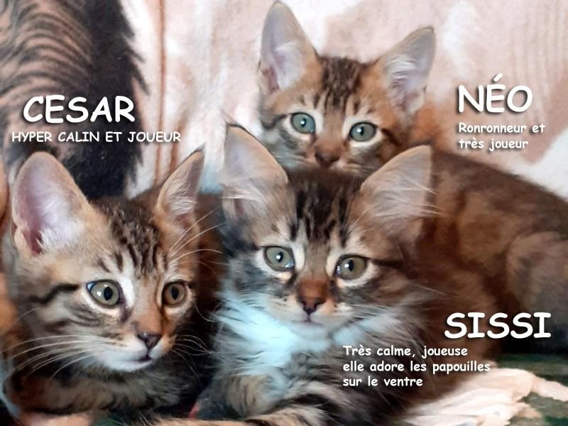 Chatons 2 Mois à Adopter, CESAR, NEO et SISSI Tous les 3 câlins, curieux et gourmands!