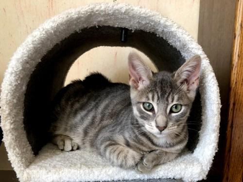GIVENCHY chaton tigré gris à l'adoption