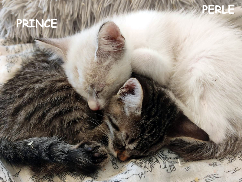 PRINCE-PERLE-DUO-CHATONS