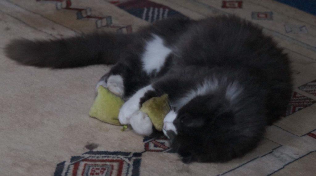 Phéliz, le chat, fêtant un petit coussin vue 1 - création de Georgia
