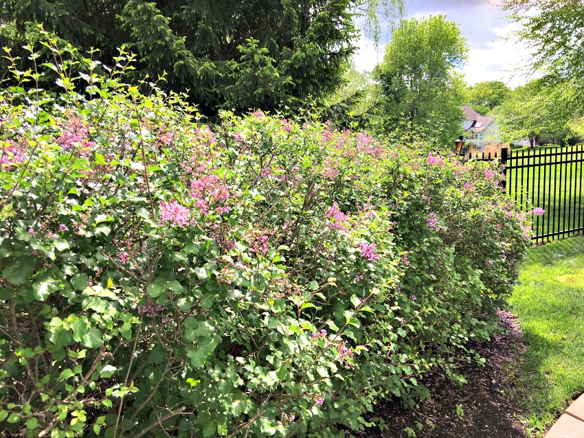 Garden Tour of Lilacs at www.chathamhillonthelake,com