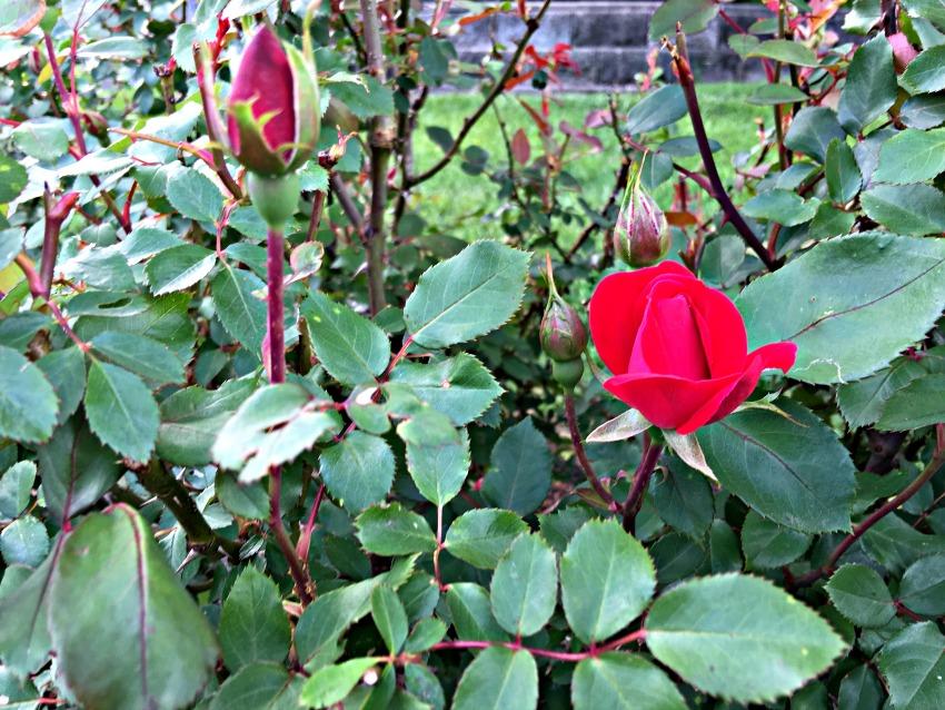 Garden Tour Roses at www.chathamhillonthelake.com