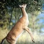 Deer eating off apple tree