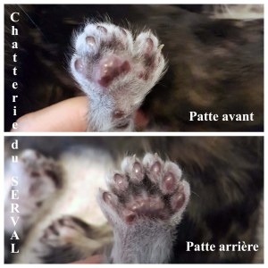 pattes polydactyle