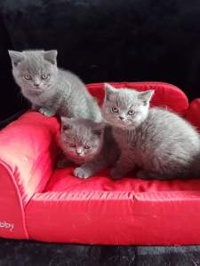 chatons_bleus_luciole_leo